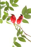 Rose hips of the wild rose (Rosa canina) Stock Photo