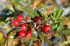 Rose Hips in Winter Royalty Free Stock Image