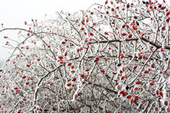 Rose hips in winter. Snow covered Rose hips in winter Stock Photos