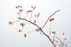Rose hips in winter Stock Photo