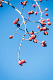 Rose hips in winter. With blue sky Royalty Free Stock Photo