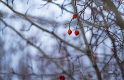 Rose hips in the winter closeup at sunset royalty free stock images