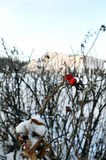 Rose hips in winter Royalty Free Stock Photography