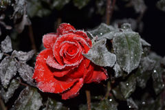 A rose is in a hoarfrost. Red rose in a hoarfrost, leaves  in a hoarfrost, rose and first ground frosts Stock Photo