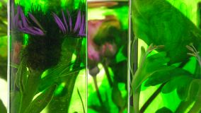 Rose, honeysuckle, thistle and dandelion in test tubes turning stock video