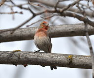 Rose house finch sitting on a branch. Stock Images