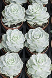 Rose houseleek Royalty Free Stock Images