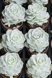 Rose houseleek royalty free stock images