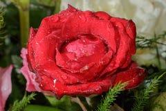 Rose humide de rouge de plan rapproché image stock