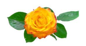 Rose i droppar av vatten på en vit bakgrund Royaltyfria Foton
