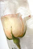 Rose in ice Stock Photos