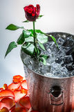 Rose in ice cold Royalty Free Stock Photo