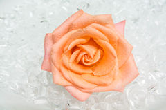 Rose on ice Stock Image
