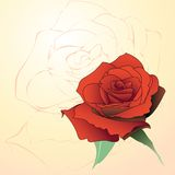 Rose illustration. The top view of a red blossoming rose. Vector illustration Stock Photo