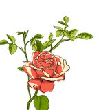 Rose illustration Stock Photos