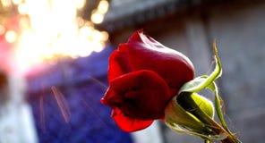 Rose iluminada por el sol Foto de archivo libre de regalías