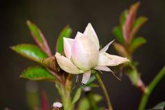 Rose im Frühjahr in einem Park Lizenzfreies Stockbild