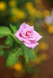 Rose im Garten Lizenzfreies Stockbild
