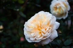 Rose im Garten Stockbilder