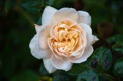 Rose im Garten stockfoto