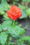 Rose im Garten auf einer Niederlassung im Regen lizenzfreie stockfotografie