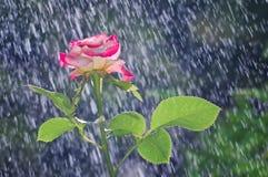 Rose im Garten im Sommerregen stockfoto
