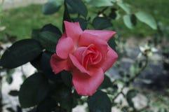 Rose im Park Stockbild