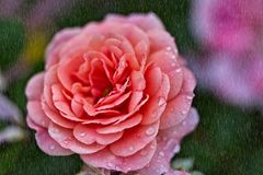 Rose im Regen stockfotos