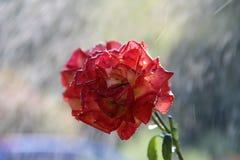 Rose im Regen Stockbilder