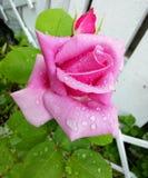 Rose im Regen lizenzfreie stockfotos