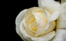 Rose im süßen und weichen Farbgebrauch für Florahintergrund Stockfotografie