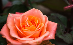 Rose im süßen und weichen Farbgebrauch für Florahintergrund lizenzfreies stockbild