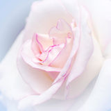 Rose im süßen und weichen Farbgebrauch für Florahintergrund Lizenzfreie Stockbilder