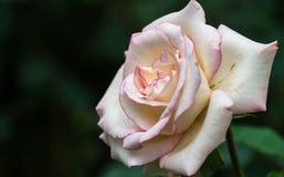 Rose im süßen und weichen Farbgebrauch für Florahintergrund Stockfotos