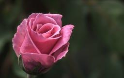 Rose im süßen und weichen Farbgebrauch für Florahintergrund Lizenzfreies Stockfoto