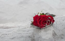 Rose im Schlamm Lizenzfreies Stockbild