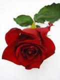 Rose im Schnee Lizenzfreie Stockfotos
