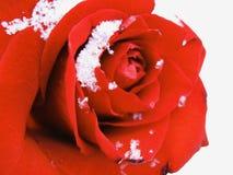Rose im Schnee Lizenzfreie Stockfotografie