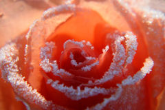 Rose im Schnee Stockfotografie