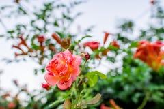 Rose im Sommer Die Ansicht vom Fenster Stockbilder