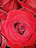Rose im Sommer stockbild