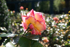 Rose im Sonnenlicht Lizenzfreie Stockbilder