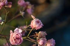 Rose im tiefen Winterfrost Stockfoto