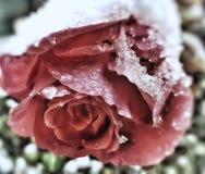 Rose im Winter lizenzfreie stockbilder