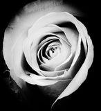 Rose. Image of blades of a rose in low key Royalty Free Stock Photography