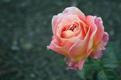 Rose impressionnante de rose avec le fond mou images stock