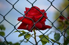 Rose imprisoned Stock Photography