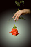 Rose In A Hand Stock Photos