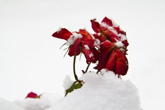 Rose In Snow Stock Photography