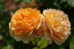 Rose inglesi giallo arancione di fioritura nel giardino un giorno soleggiato Rose Graham Thomas Fotografie Stock Libere da Diritti